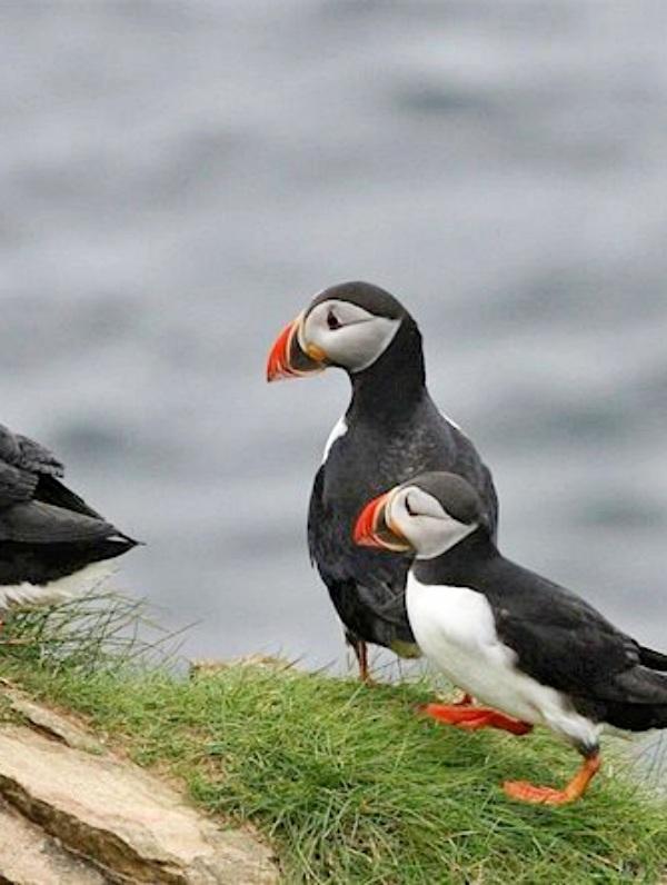 Descubren el uso de herramientas por parte de aves marinas (video)