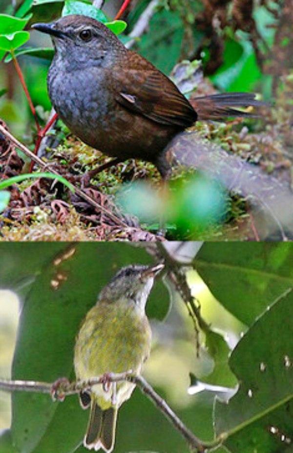 Descubren nuevos pájaros cantores en Indonesia
