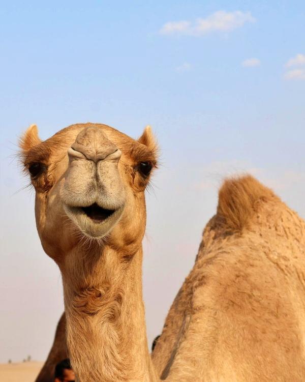 Locura absoluta, Australia matará a balazos desde helicópteros a miles de camellos salvajes a causa de la sequía