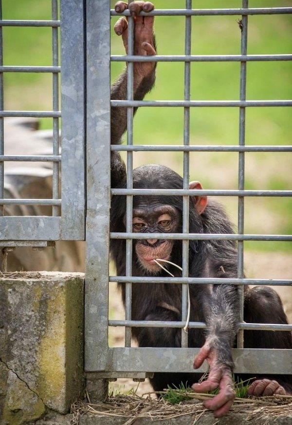 Los chimpancés actores y mascotas 'traumatizados de por vida'