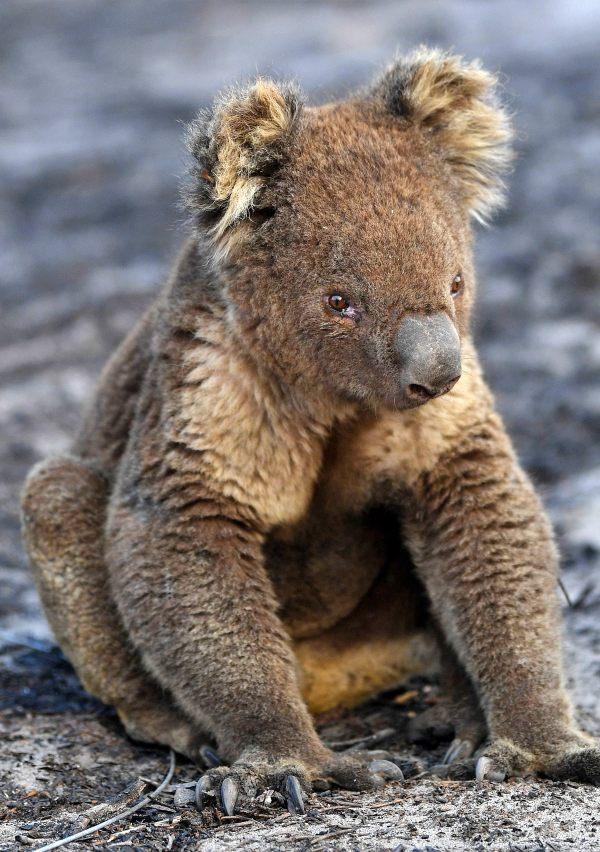 Los 'springer spaniel inglés' que salvan koalas de morir en los incendios de Australia