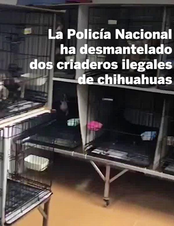 270 chihuahuas liberados del mismísimo 'infierno'