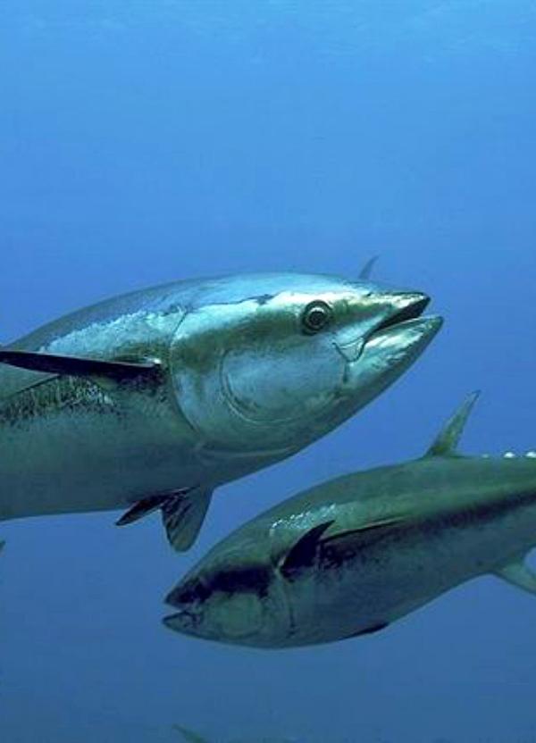 La 'peligrosísima' certificación MSC para el atún rojo del Atlántico