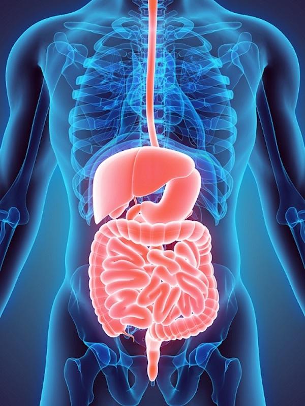 El sistema inmunológico del intestino también ayuda a regular el procesamiento de alimentos