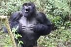 Un estudio revela el significado oculto de los golpes en el pecho de los gorilas de montaña