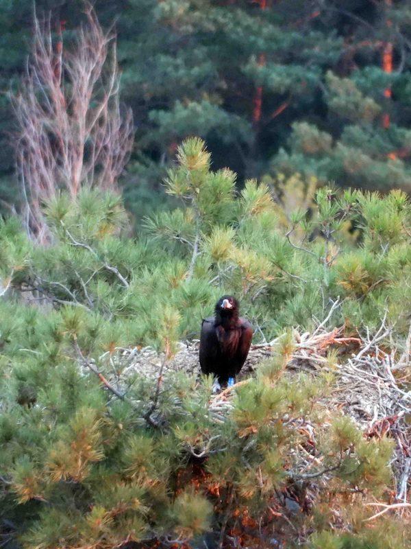 Un buitre negro de Pirineos, primera ave carroñera intoxicada por diclofenaco que se detecta en Europa
