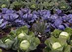 Alimentos eco: las múltiples propiedades de las crucíferas ecológicas