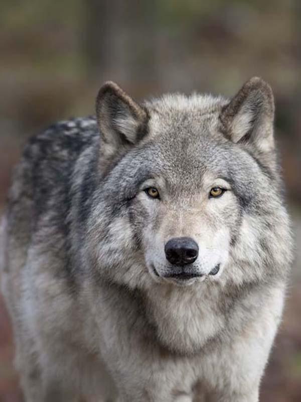 El lobo gris, ejemplo de supervivencia por cambio de dieta