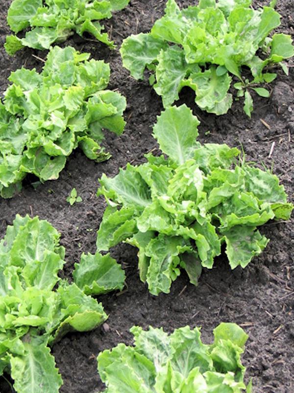 Primaflor y Kimitec, la gran alianza para cultivar productos de hoja con residuo cero