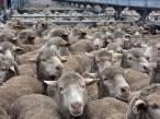 Nueva Zelanda prohíbe la exportación de animales