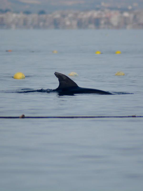 Liberados dos delfines mulares en la almadraba de La Azohia (Cartagena. España)