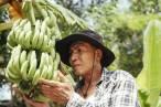 Se disparan alarmas en Perú y Ecuador por 'pandemia' del banano y expertos piden cooperación público-privada para enfrentar la plaga