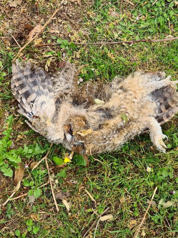 Asturias. Hay que frenar la electrocución de las aves por negligencias, el mal ejemplo de LLeorio en Gijón
