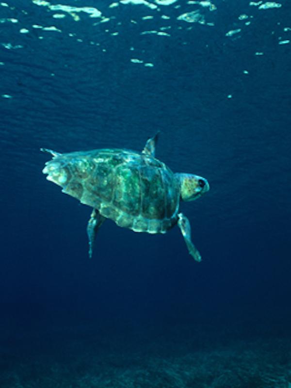 Hallados plastificantes acumulados en el tejido muscular de tortugas en el Mediterráneo occidental