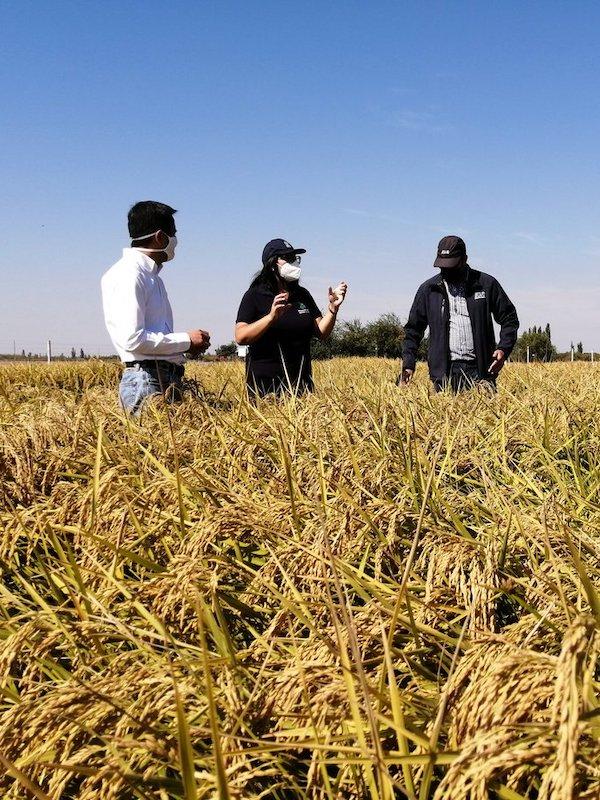 Chile. El arroz más austral del mundo se adapta al cambio climático