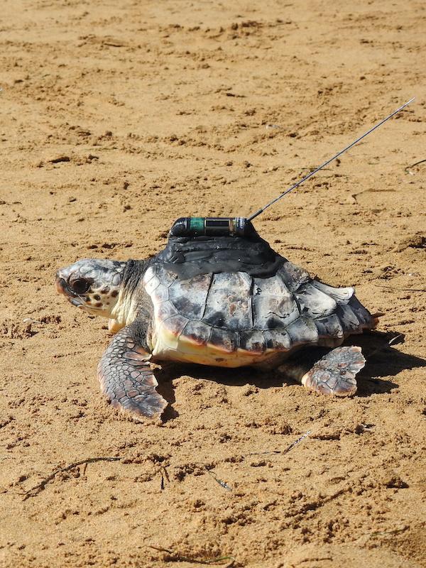 Las tortugas equipadas con emisores por ANSE han recorrido todo el Mediterráneo