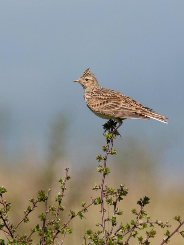 Las aves comunes en España se encuentran al 'limite'