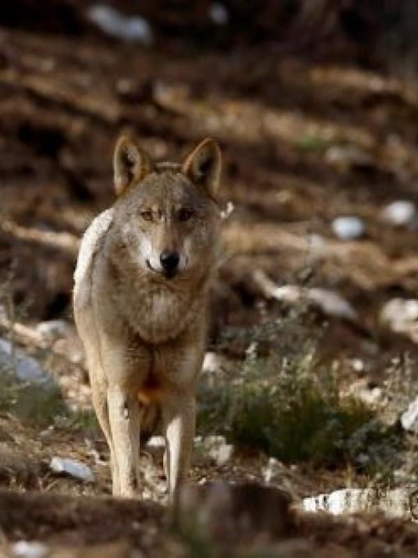 Por una protección 'integral' del lobo en la Comunidad de Madrid