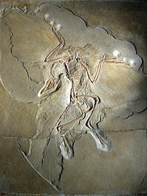 Novedades: ¿Apareció el vuelo propulsado en dinosaurios no avianos?