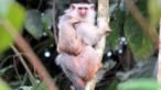 En la Amazonia brasileña hallan una nueva especie de 'tití'