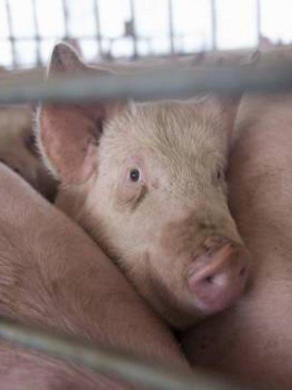 Interporc difunde información 'FAKE' promocionando la carne de cerdo como carne blanca