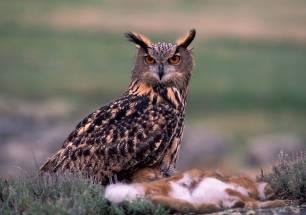 SEO/BirdLife se persona en los tribunales contra un nuevo delito contra la fauna