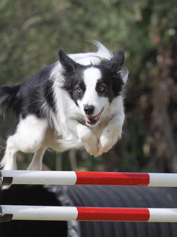 La Real Sociedad Canina pide a las autoridades sanitarias que consideren el adiestramiento canino actividad esencial