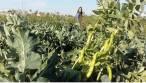 Mejora la sostenibilidad de cultivos hortícolas asociándolos a leguminosas