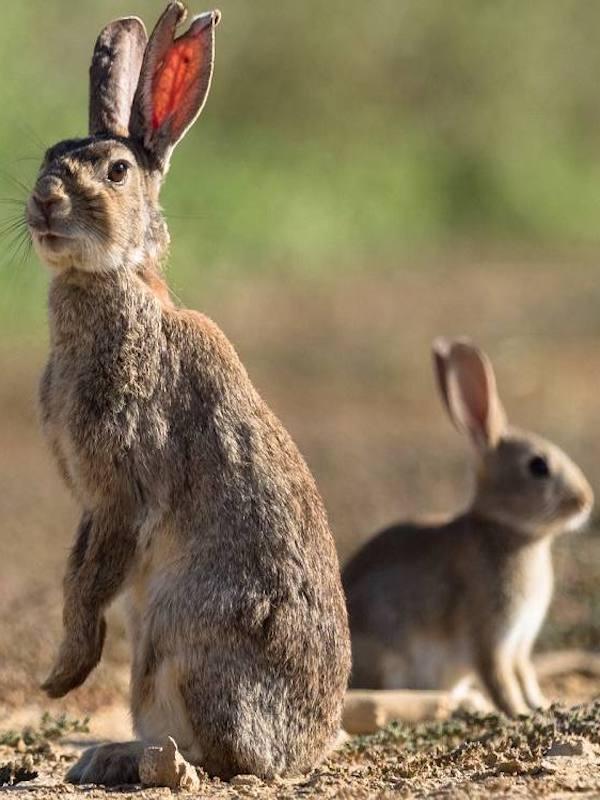 NO a la ampliación del periodo de caza del conejo en Albacete