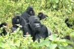 Los gorilas de montaña, 'indefensos' ante el COVID-19 por los turistas y sus fotografías