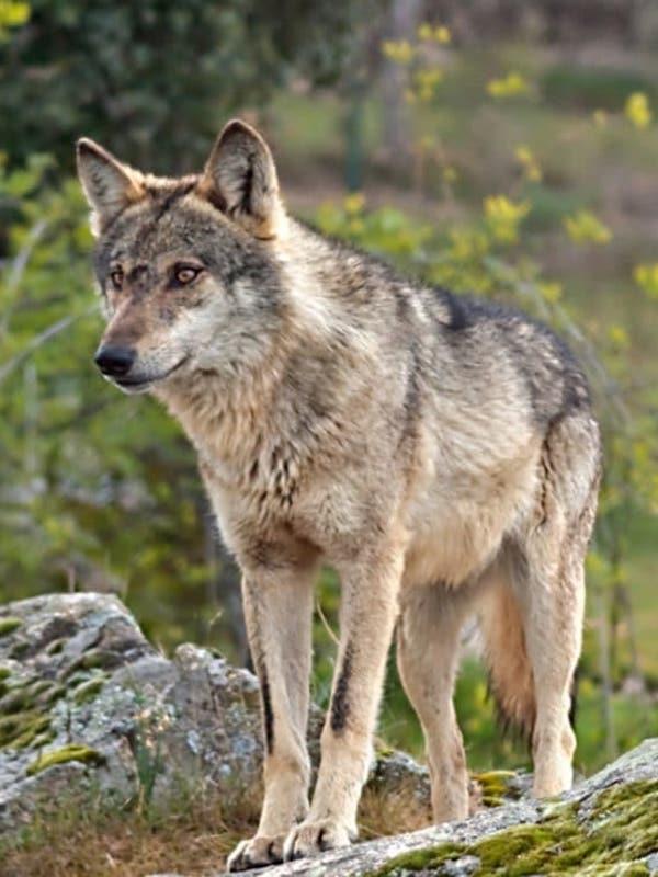 Cantabria dice NO al veto a la caza del lobo ibérico