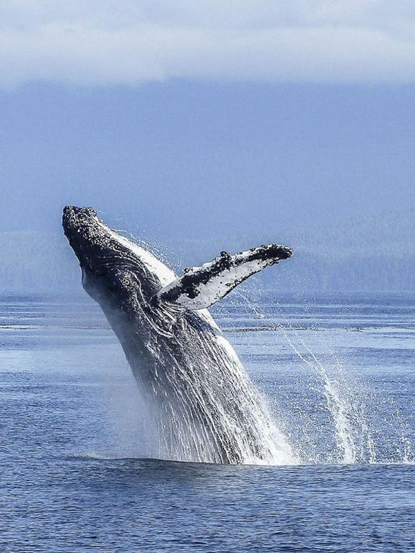 ¿Qué sabes de las ballenas azules pigmeas?