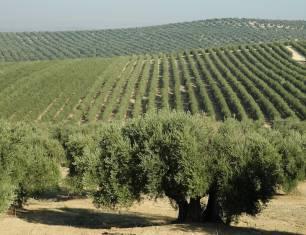Logran predicir el impacto del cambio climático sobre el olivar andaluz según su zona de cultivo