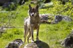España garantiza las indemnizaciones por daños a la ganadería extensiva por parte del lobo ibérico