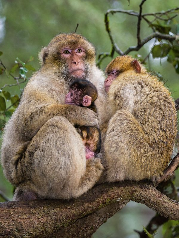 Encuentran dientes de macaco de hace 2500 millones de años