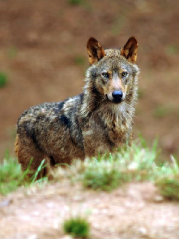 Cantabria contra la nueva protección al lobo ibérico