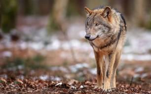 Los 'negacionistas' afirman que: 'la convivencia del oso y el lobo con la ganadería extensiva no es posible'