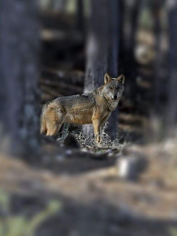 Galicia presenta alegaciones a la orden para incluir al lobo ibérico en el listado de protección