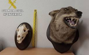 Investigado en un pueblo de Toledo por tener en su casa un oso y una cabeza de lobo disecados