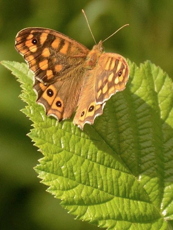 El efecto de los cambios del clima en la biología de las mariposas