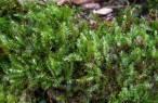 Prácticamente el 20% de las plantas briófitas de Baleares se encuentran en vía de extinción