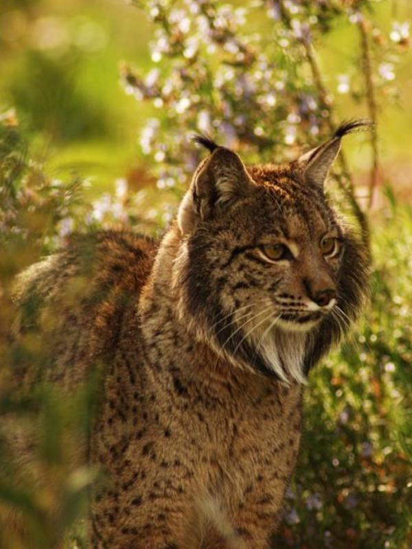 Polémica en la reproducción del lince en el Parque Natural de Andújar (Jaén)