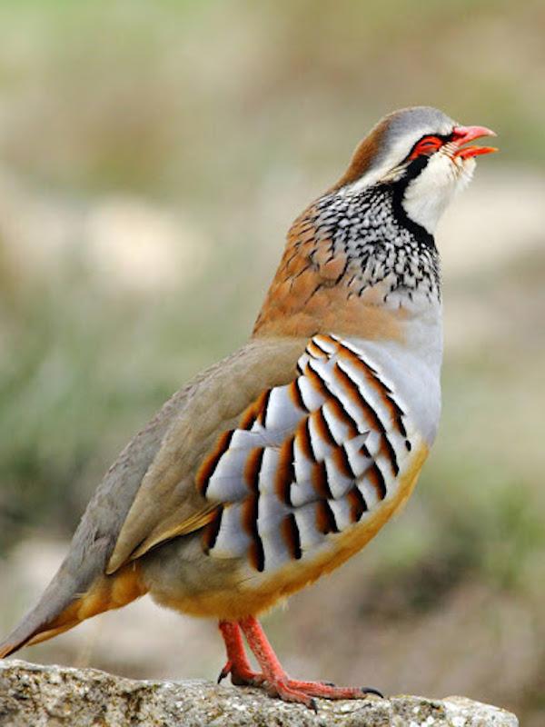 Efecto del calentamiento global sobre la muda del plumaje de las aves: el caso de la perdiz roja