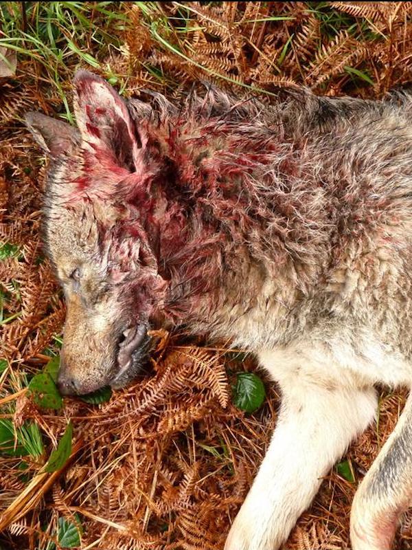 Asturias 'apuesta' por seguir matando mas lobos
