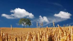 Encuentran la clave para mejorar la producción de cereales