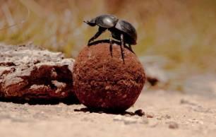 La UICN alerta de que los escarabajos peloteros del Mediterráneo están en riesgo por el actual modelo agro-ganadero