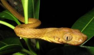 Descubren una serpiente arbórea que trepa con un movimiento de lazo