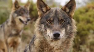 El lobo en peligro de extinción en Andalucía
