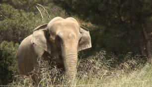 El escandaloso caso de la elefanta Dumba