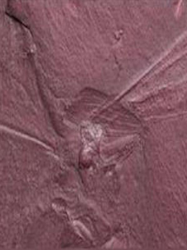 Una mantis religiosa que vivió entre dinosaurios